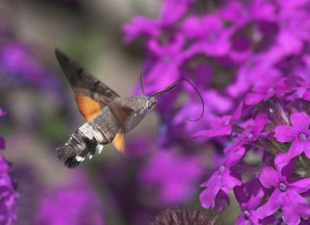Hummingbird Hawk Moth1
