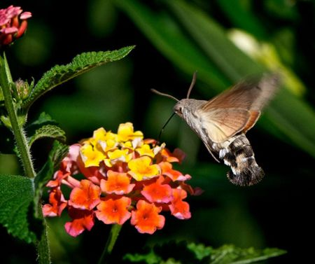 Hummingbird HawkMoth2